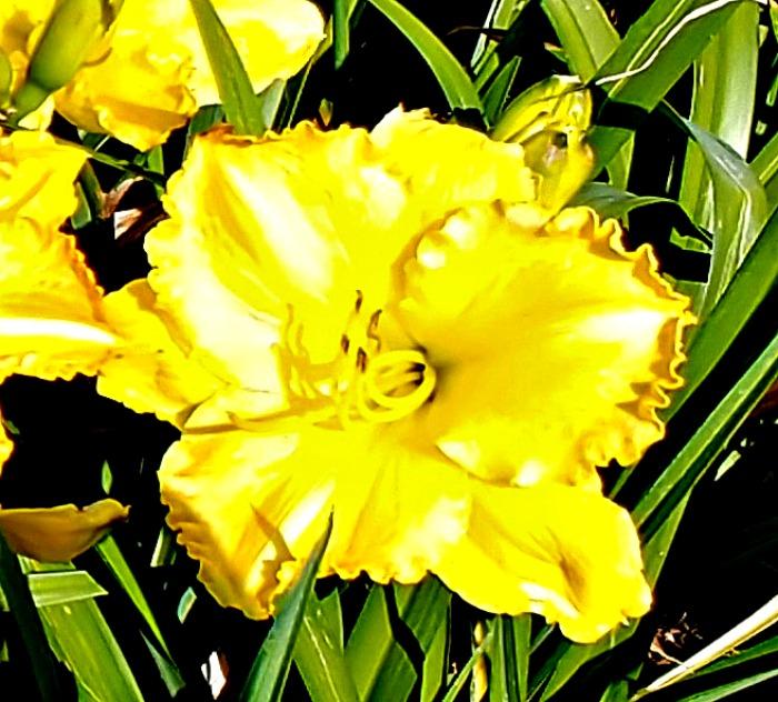 Smuggler's gold daylily
