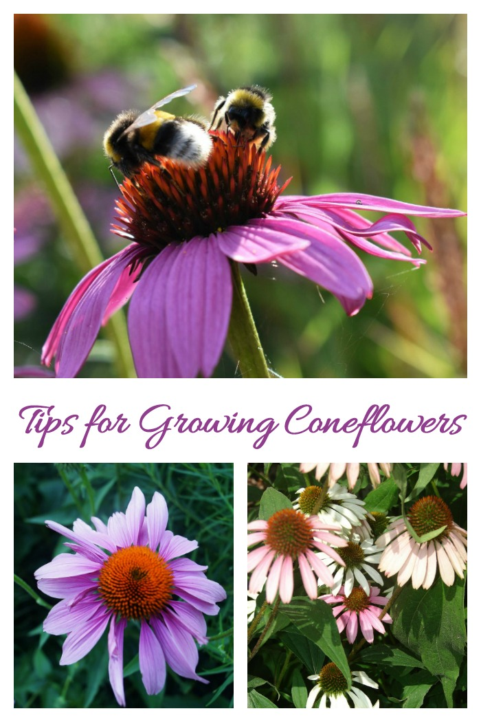 Tips for growing echinacea as well as uses, propagation and seed saving.