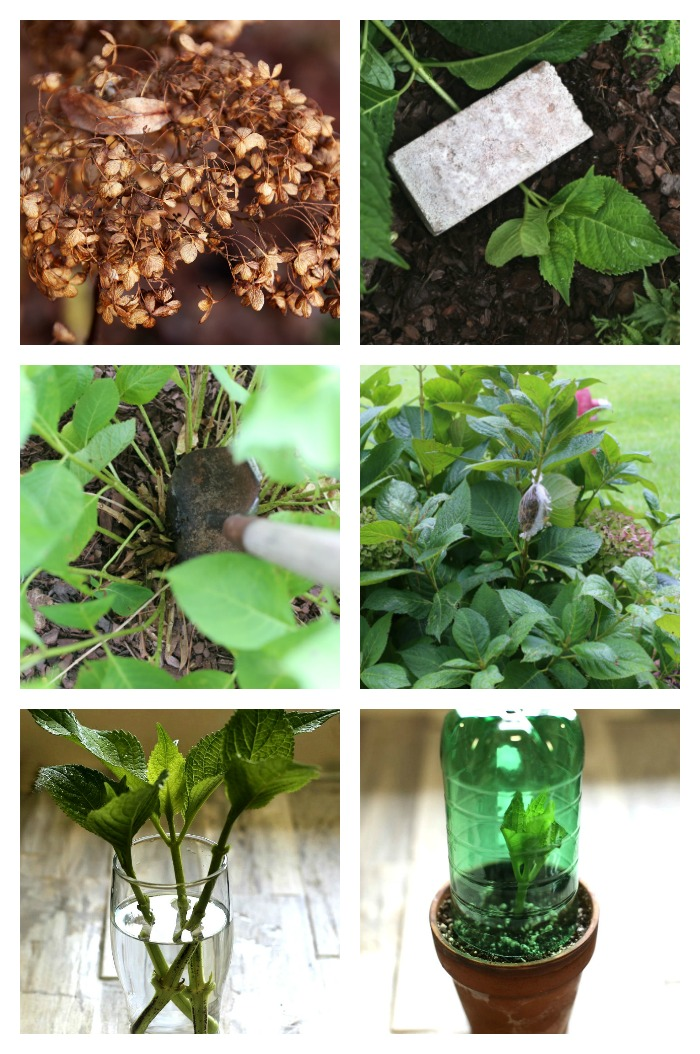 Tips for propagating hydrangeas from cuttings, seeds, division, air layer and tip rooting