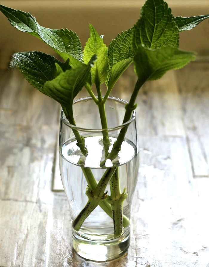 Hydrangea cuttings will root in water, but this type of propagation will result in a weaker plant.