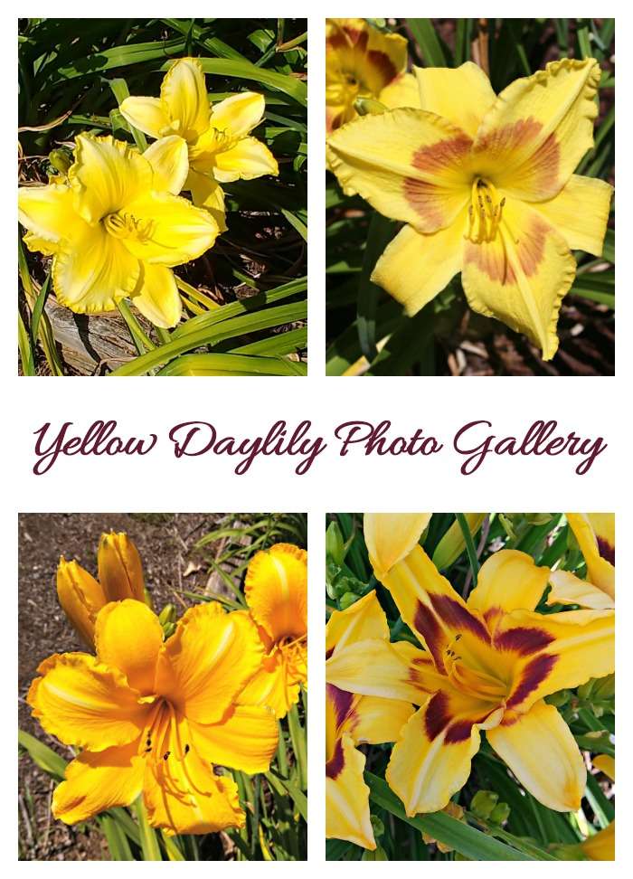 This Yellow Daylily Photo Gallery is just one of the galleries on my post of Wildwood Farms Daylily Gardens