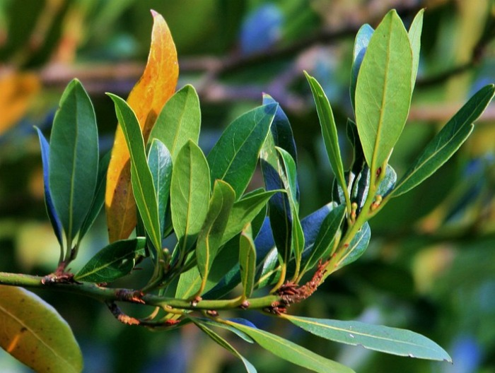 Bay leaves are cold hardy in zones 8 and above