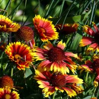 Blanket flower (also called Gaillardia)