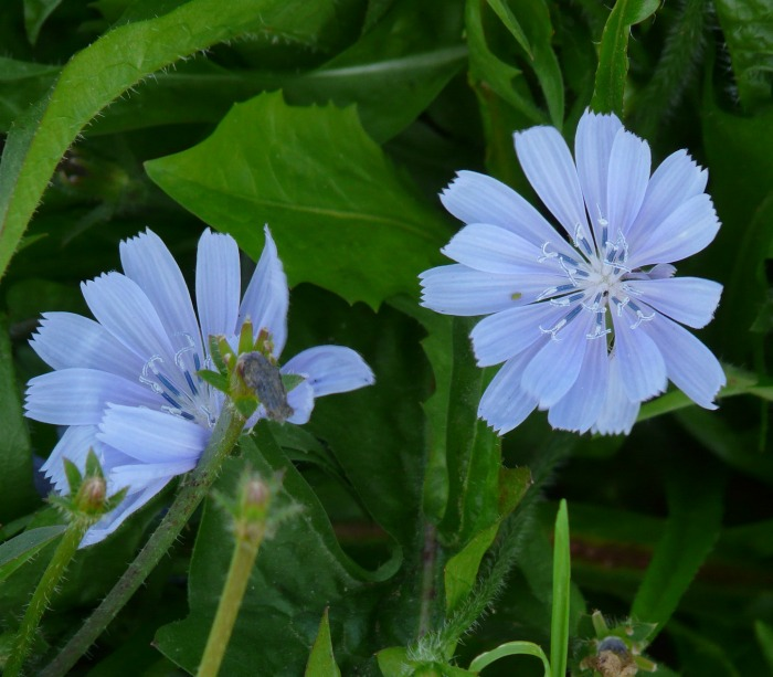 Chicory roots and leaves are edible. It is a perennial herb.