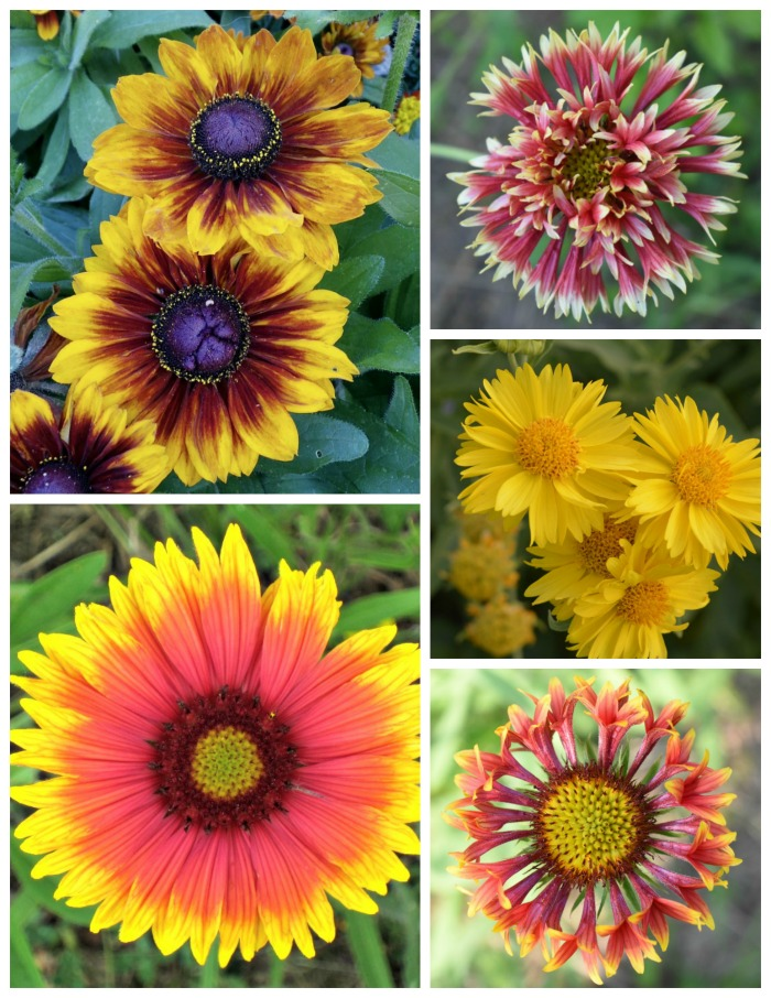 Blanket flower comes in many shades of yellow orange and red, as well as peach. It has both single and double rows of petals and some petals are even tubular shaped.