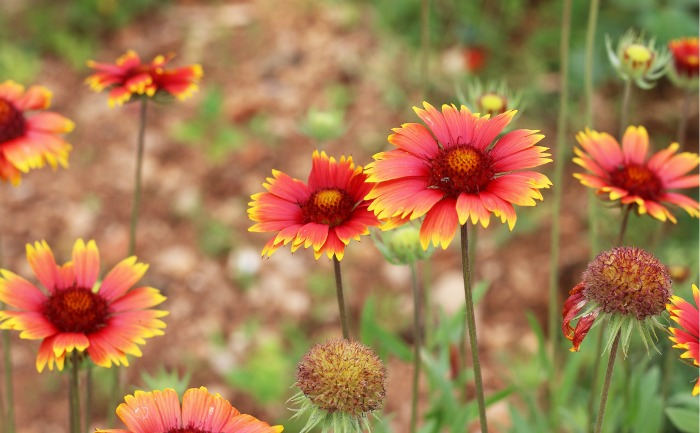 Indian Blanket flowers love the sunlight