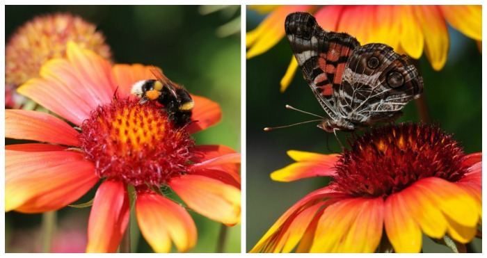 Gaillardia (blanket flower) is attractive to pollinators