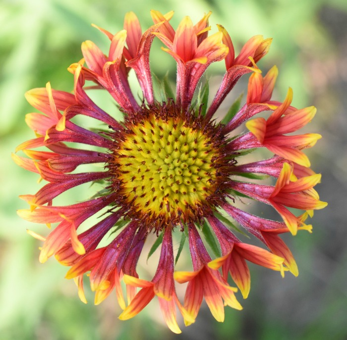 Gaillardia with tubular flowers