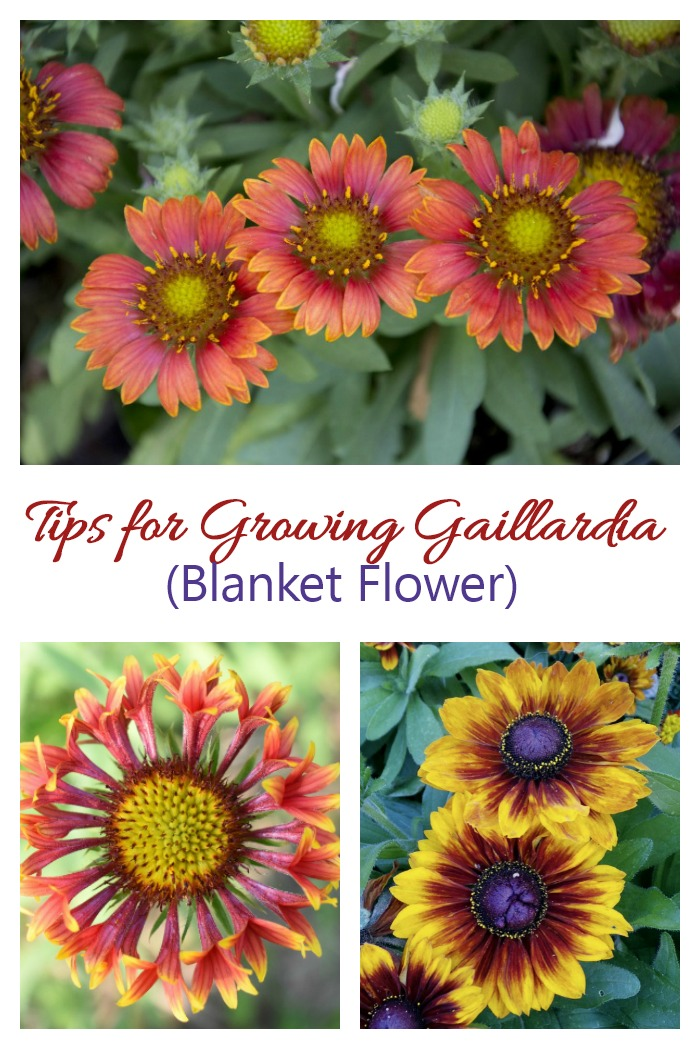Tips for growing Gaillardia (blanket flower). This is an easy to grow perennial with long extended season bloom