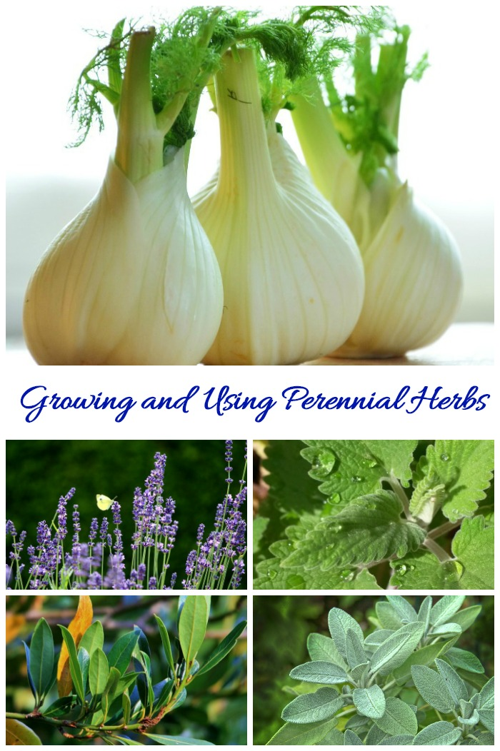 This list of perennial herbs gives growing tips and cold hardiness zones on herbs that come back each year.