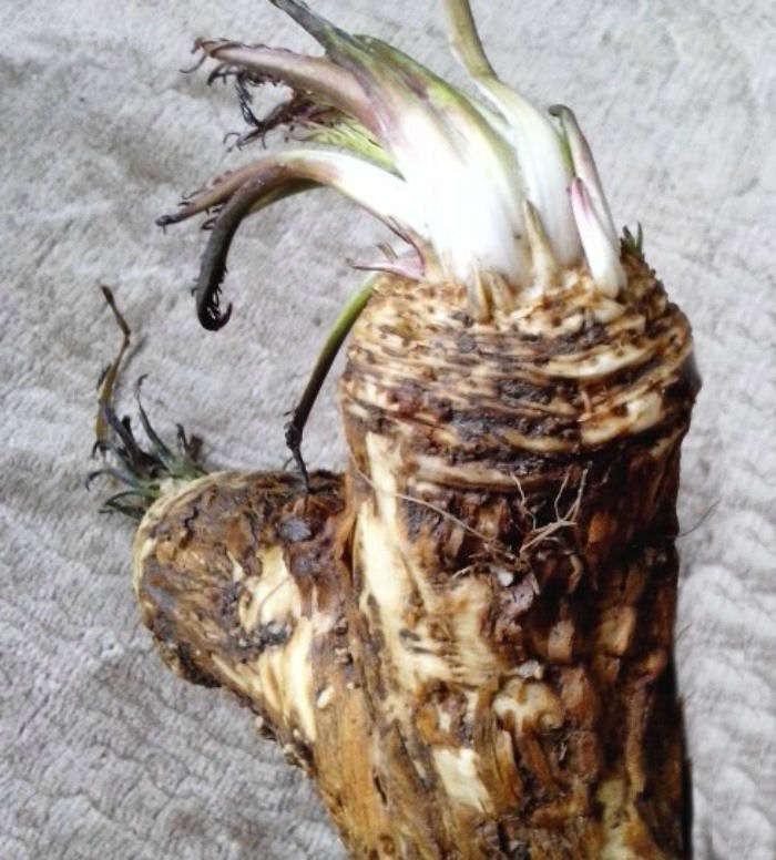 Horseradish root is the most often used, but the leaves are also edible.