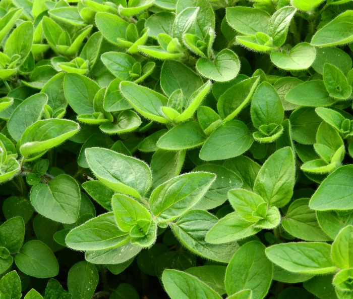 Marjoram is a herb that is popular in Mediterranean cooking.