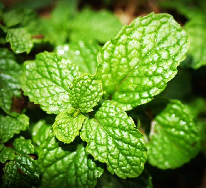 Mint is a very versatile herb that can be used in everything from sweets and teas to soups and stews.