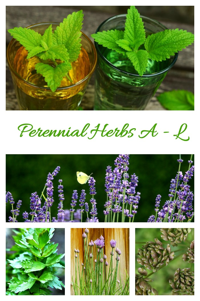 This list of perennial herbs features plants starting with the letters A through L
