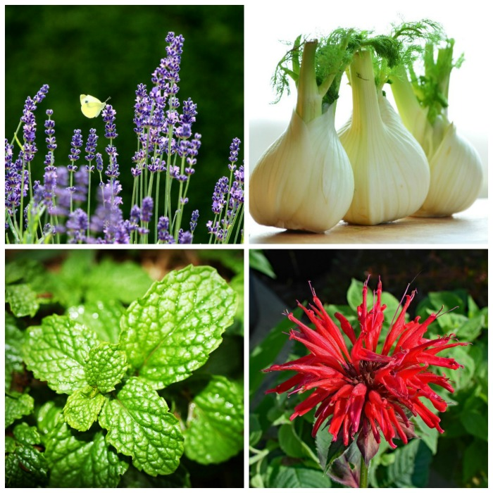 List of perennial herbs