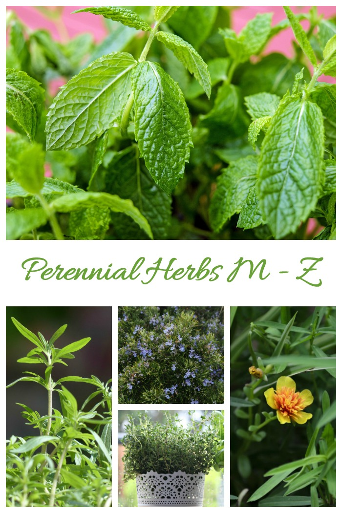 This list of perennial herbs features plants with the letters M - Z