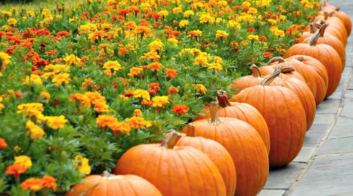 Pumpkins along a walkway