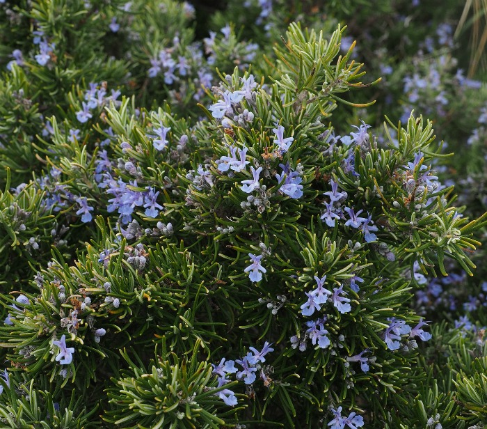 Rosemary is a popular perennial herb with flowers that are edible.