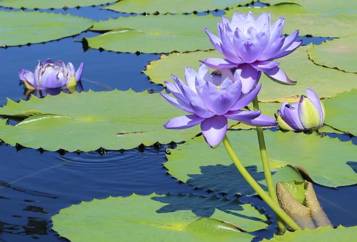 Blue Cloud Waterlily