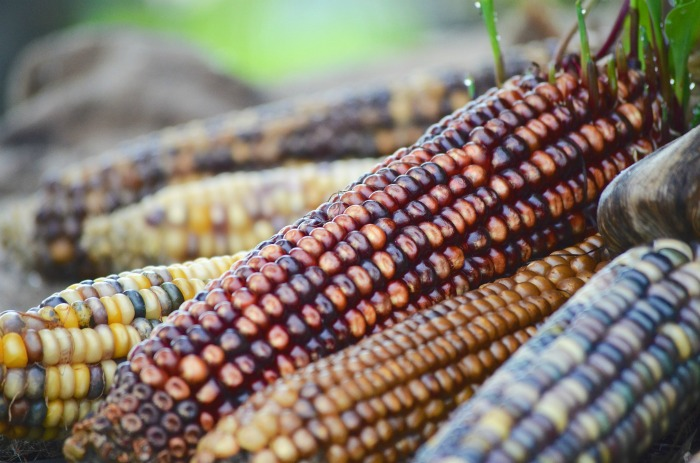 Use Indian corn in all types of fall decoration projects