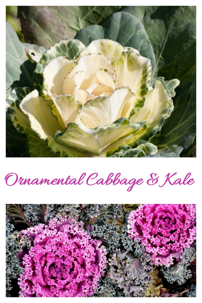 Ornamental cabbage and Kale can both be used in many ways for decorating.