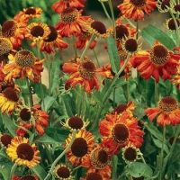 Outsidepride Helenium Autumnale - 2000 Seeds