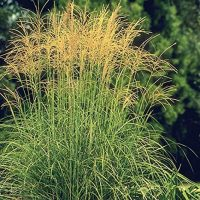 Japanese Silver Grass Arabesque - 1 Gallon (Miscanthus sinensis Arabesque)