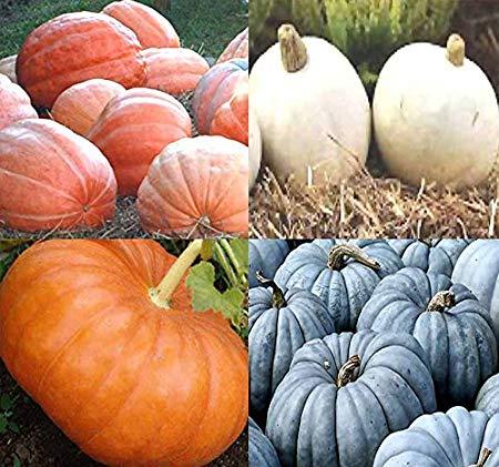BIG PACK (80-90+) Dill Atlantic Giant, Casper White, Cinderella Rouge vif D'Espampes, Jarrahdale Blue Pumpkin Seeds - Non-GMO Seeds By MySeeds.Co (BIG PACK - Pumpkin Mix II)