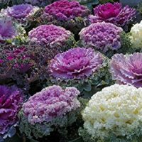 Seeds Edible Cabbage Ornamental Decorative Large-Leaved Beatiful Flower Cut Organic Ukraine