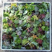 100 (40 varieties) Succulent CUTTINGS great for Vertical Gardens & wreaths & topiaries