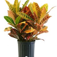 Costa Farms Croton Petra Live Indoor Floor Plant in 8.75-Inch Grower Pot