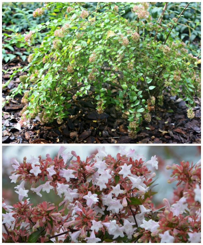 Abelia flowers in late fall
