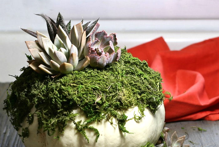 Attaching succulents to moss