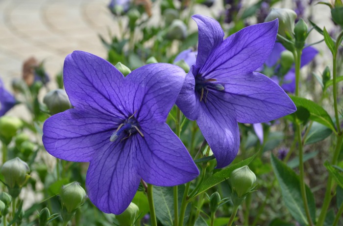 Balloon flowers bloom in late summer and early fall