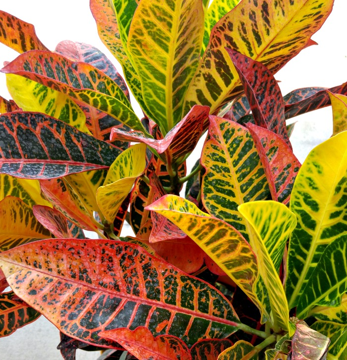 Crotons bring fall color to any garden setting
