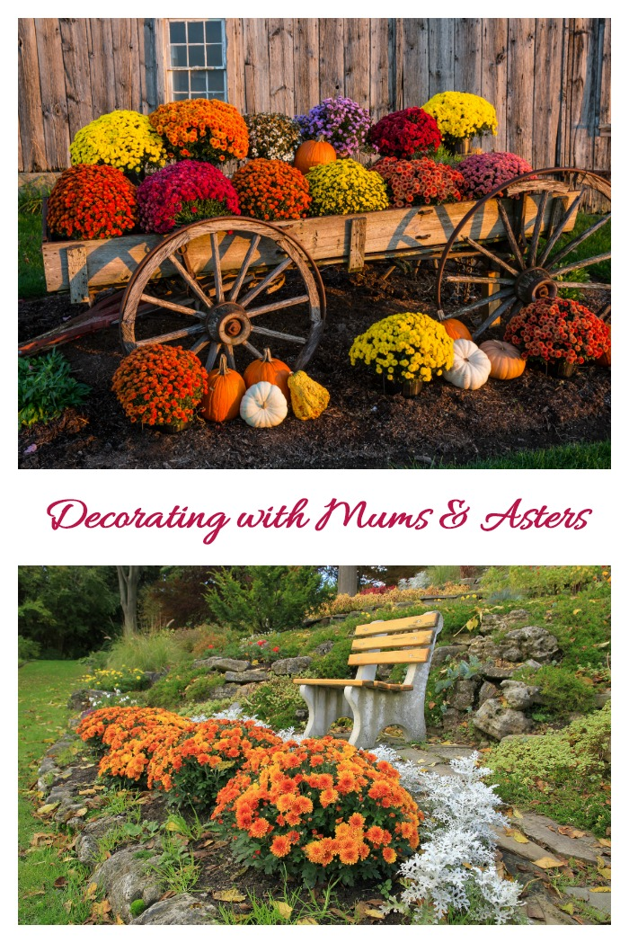 "Collage of mums and asters with text reading ""decorating with mums and asters."""