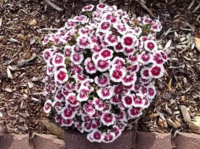 Dianthus will bloom until October
