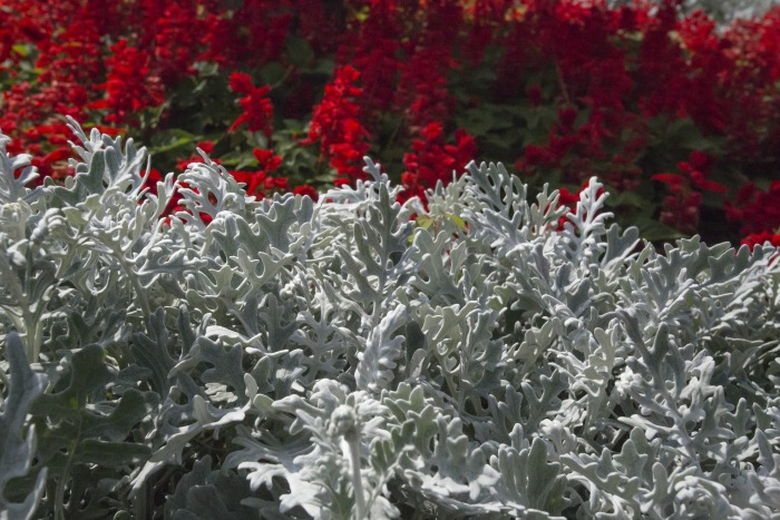Dusty miller plants in front of red flowers.