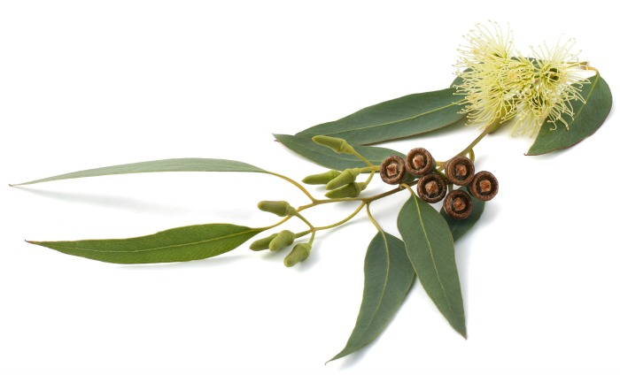 eucalyptus leaves and nuts.