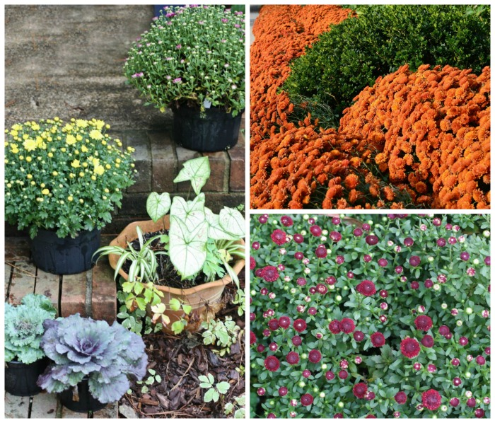 garden mum add a great splash of fall color