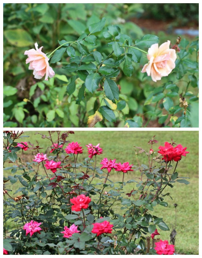 Repeat blooming roses will bloom right up until frost in the fall