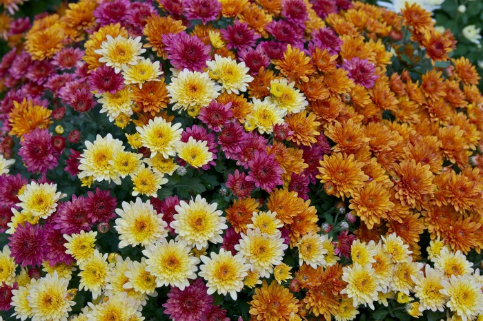garden mums are perfect for fall
