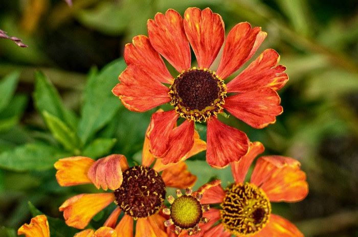 Helenium blooms in late summer, or early fall.