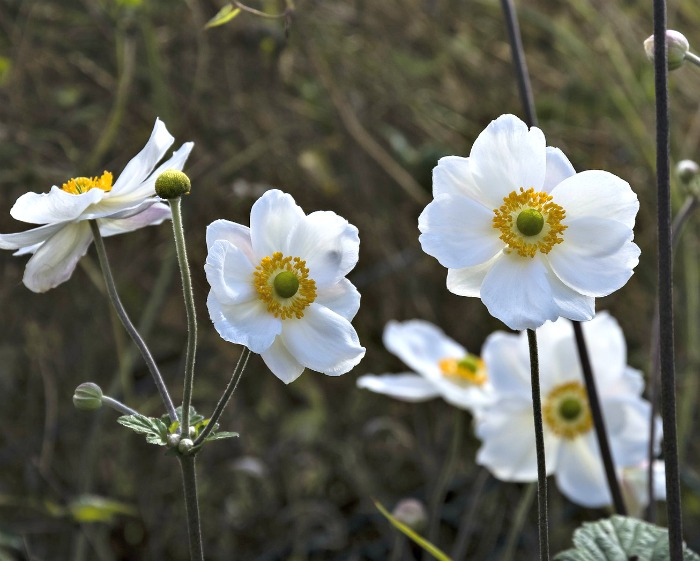Japanese anemone blooms in late summer and early fall