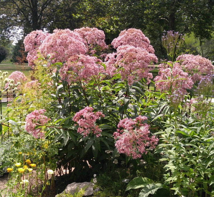 Joe Pye Weed flowers well into fall.