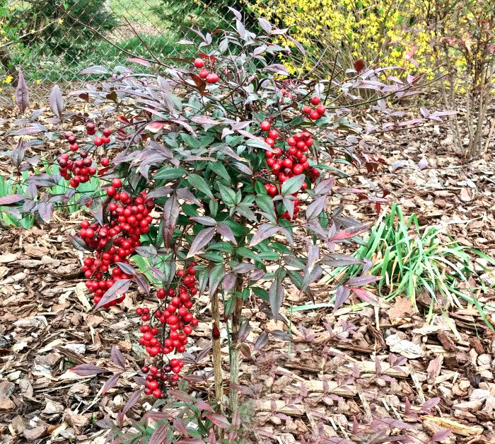 Nandina sets berries in the fall