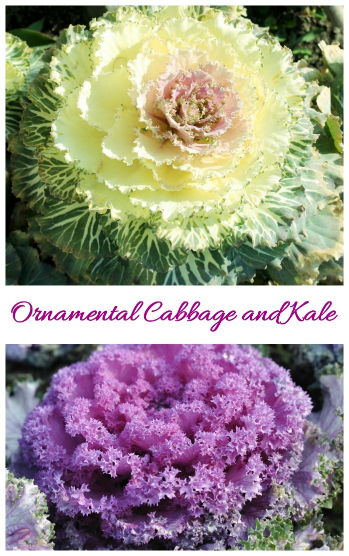 Ornamental cabbage and Kale plants in a collage.