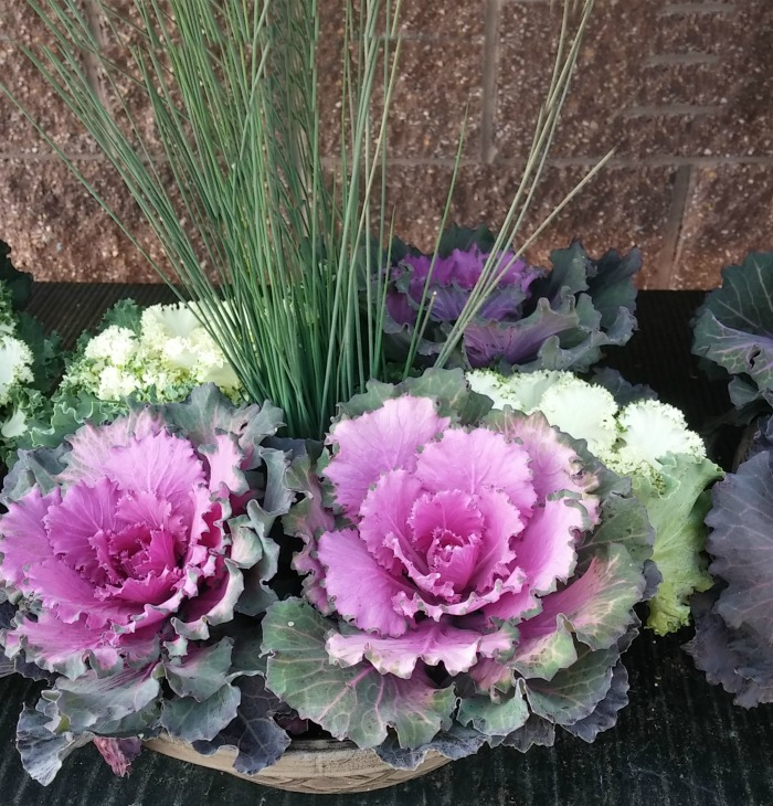 Ornamental cabbage is a cool season plant