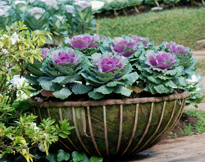 Basket of ornamental kale.