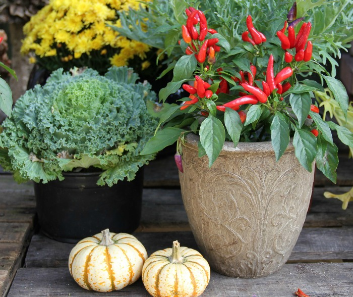 Ornamental peppers are great in fall decor projects